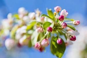 Apfelbaum Für Balkon : apfelbaum auf dem balkon ziehen geht das ~ Michelbontemps.com Haus und Dekorationen