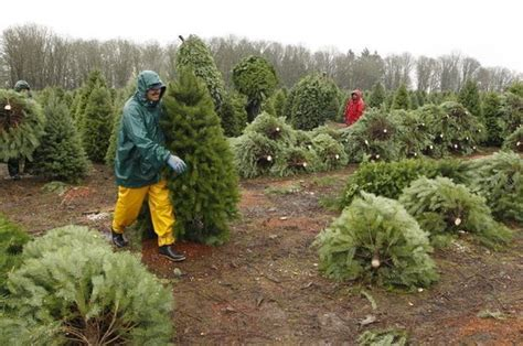 oregon christmas tree growers oregon tree growers feeling that cheer oregonlive
