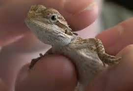 bearded dragon care bearded dragon care sheet and