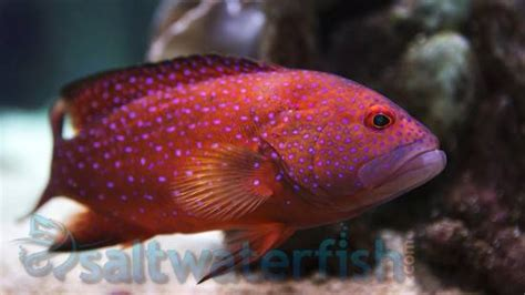 miniatus grouper groupers saltwater fish