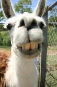 interaction  llama leaves man dialing  wrhi
