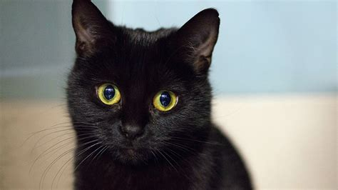 black cat superstition 5 spooky superstitions explore awesome activities fun facts cbc kids