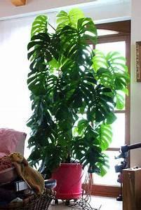 How To Grow Monstera Deliciosa Go Green Pinterest