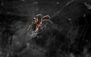 Spider Full HD Wallpaper and Background Image