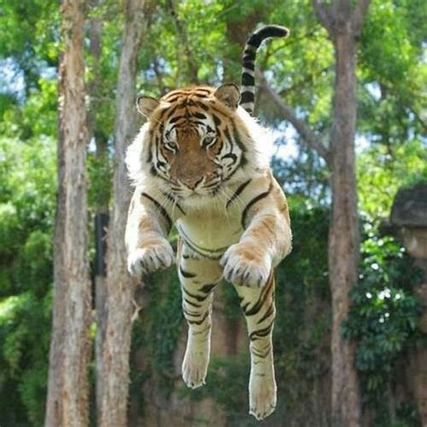 Tiger Action Animals Babies Pinterest