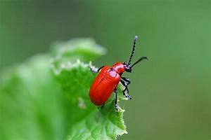 Käfer Im Garten : kr hende k fer in knallrot lilienh hnchen kuriose tierwelt ~ Lizthompson.info Haus und Dekorationen