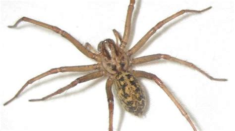 hobo spider bite pictures symptoms  treatments