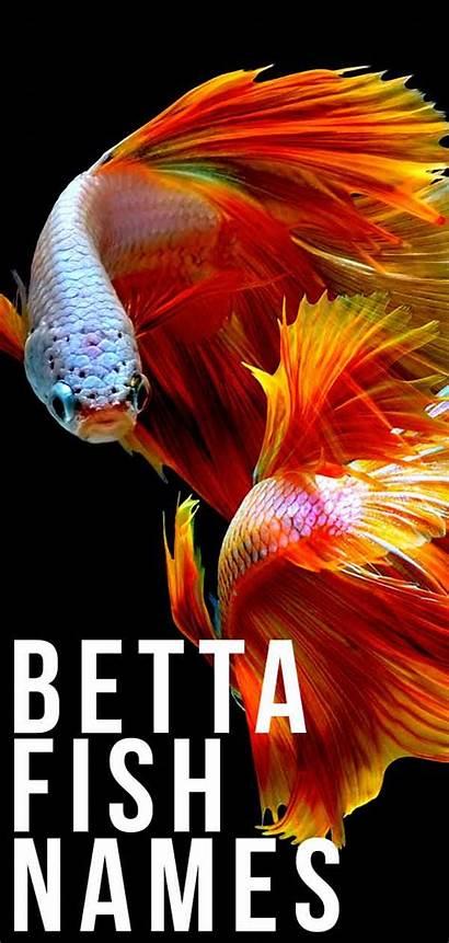 Betta Fish Names Fighting Siamese Ways