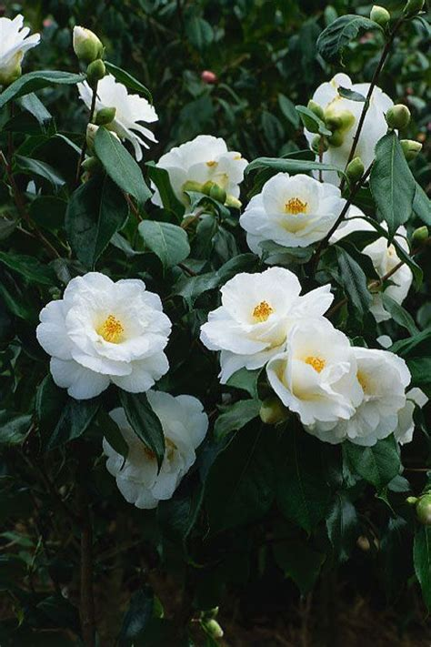 camellia white camellia japonica lovelight cam 233 lias brancas pinterest gardens the winter and in august