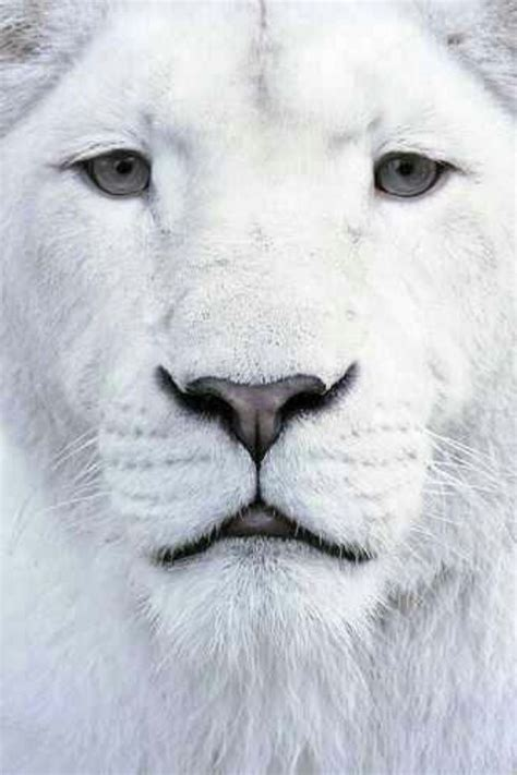 Best Images About Beautiful White Lions Pinterest