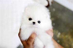 White Pomeranian Puppies – Where to buy, for sale? | I ...