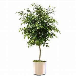 Ficus Benjamini Vermehren : ficus benjamina package ~ Lizthompson.info Haus und Dekorationen