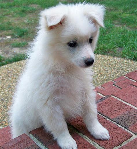 American Eskimo Dog Toy Breed Information And Pictures On Puppyfinder Com