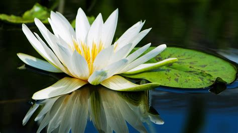 water lily flowers photography desktop wallpaper preview
