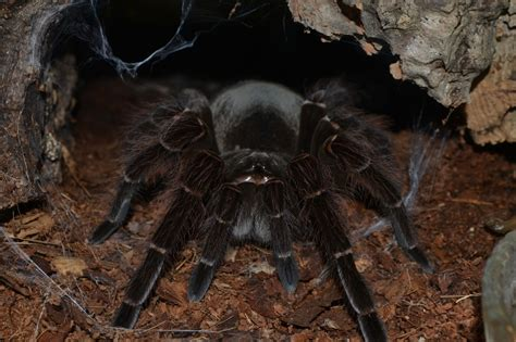 l araign 233 e la plus grosse du monde araign 233 e goliath ou