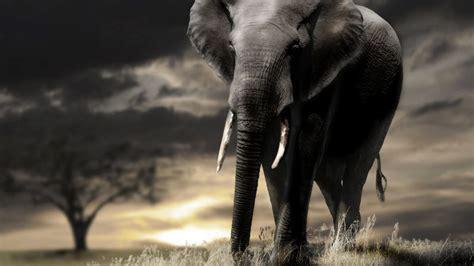 wallpaper elephant sunset savanna clouds animals