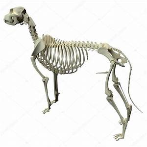 Picture Diagram Of Dog Skeleton Dog Skeleton Anatomy