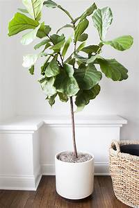 How To Repot A Fiddle Leaf Fig Tree - Room For Tuesday