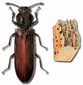 Insectes Xylophages Meubles Traitement Meuble Les Insectes