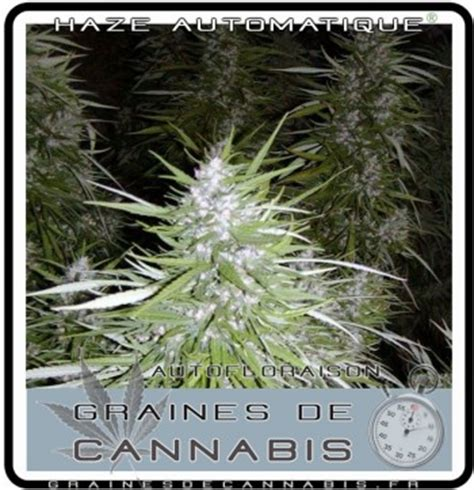 culture cannabis autofloraison interieur comment pousser cannabis