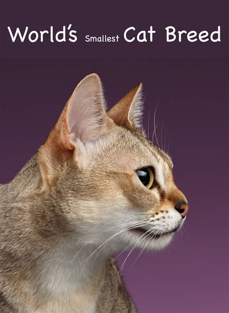 Abyssinian Cat Kopen - Cat and Dog Lovers