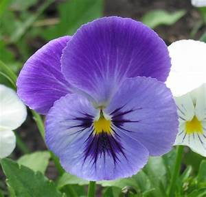 File:Pansy flower.jpg - Wikimedia Commons