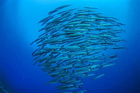list   types  barracuda fish  pictures