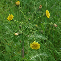 https://pflanzenbestimmung.info/sonchus-asper/