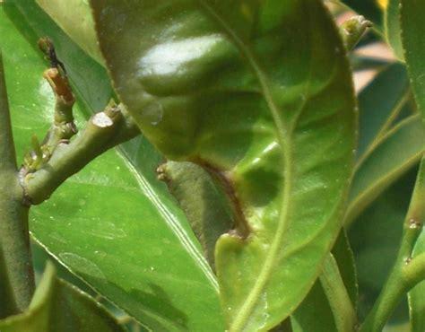 parassiti limone in vaso malattie limone malattie delle piante le malattie