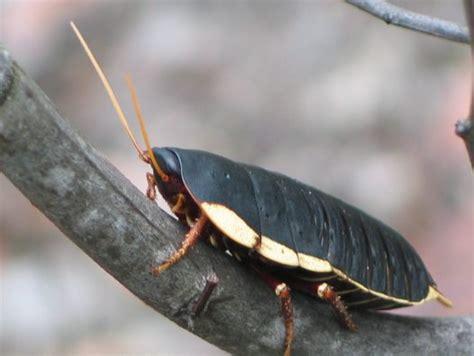native cockroach australian museum