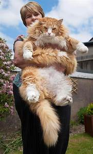 21 maine coon cats that will make your look
