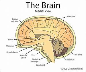 The Frontal Cortex Is Part Of The Cerebral Cortex  Or The