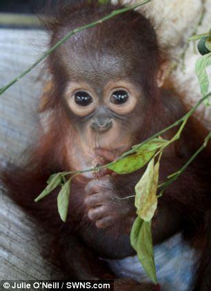 Super Cute Baby Orangutan