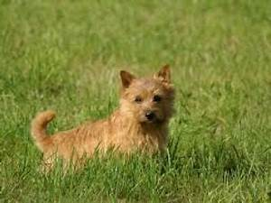 Norwich Terrier | Shop for your Cause