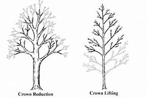 Crown Reduction  Lifting And Thinning