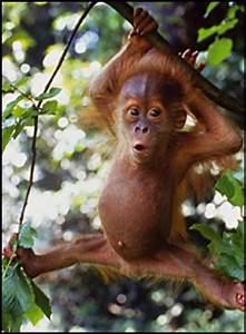 "Baby Orangutan -- looks like he has an ""outie"" | so cute ..."