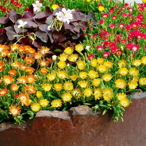 pflanzen f 252 r steingarten sonnig steingarten stauden mix groupon steingarten stauden mix