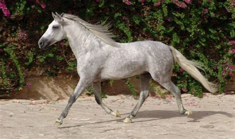 horse andalusian horses canada history facts most lover important know src origin