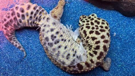 leopard gecko shedding skin leopard gecko shedding skin eats it