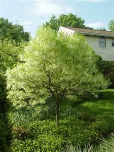 1000 images about fringe tree on