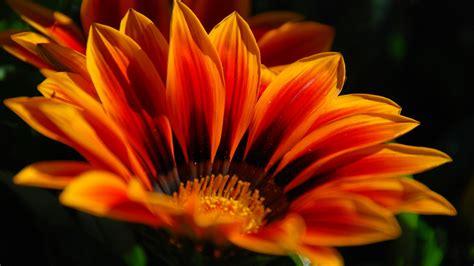 Black And Orange Flower Wallpaper by Orange Flower Cool Hd Desktop Wallpapers 4k Hd