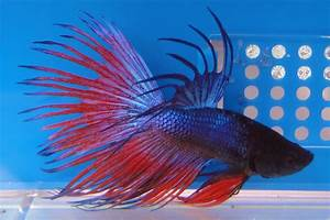 crown tail blue red betta 1 | Nemo's World