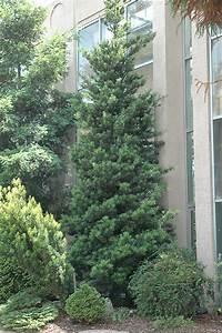 Japanese Yew (Podocarpus macrophyllus) in Longview Kilgore ...
