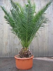 Phoenix Canariensis Entretien : plante verte phoenix pivoine etc ~ Melissatoandfro.com Idées de Décoration