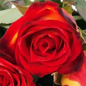 Gelb Rote Rosen Bedeutung : 10 15 oder 20 gelb rote rosen im bund alle farben nach farbe schnittblumen blumenversand ~ Whattoseeinmadrid.com Haus und Dekorationen