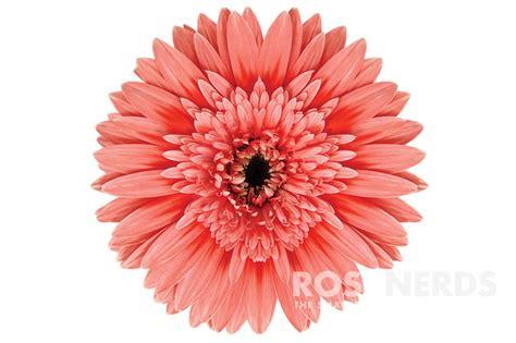 gerbera daisies colors 11 best pink wholesale flowers images on cut