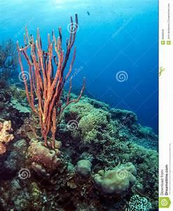 Underwater Coral Reef Amphimedon Compressa (Erect Rope ...