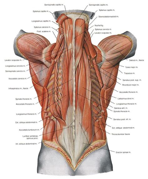 The sections below will cover these elements in more detail. Back Muscles | Мышечная система, Анатомия человека, Мышцы спины