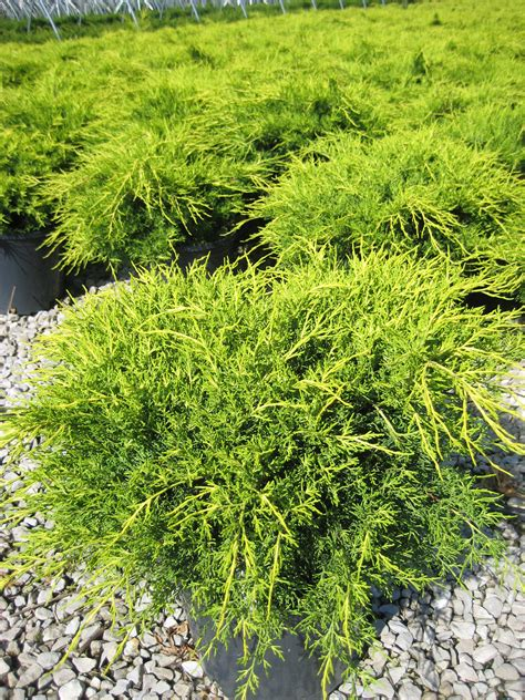 juniper bush retail nursery paul swartz nursery