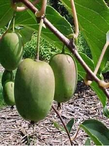 Tailler Les Kiwis : kiwi kiwa 39 issai 39 actinidia arguta le jardin du pic vert ~ Farleysfitness.com Idées de Décoration